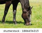 Black Horse Graze On Pasture