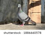 A Pigeon Bird Sitting On A Rock ...