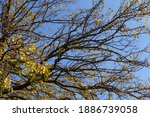 Clear Blue Sky And Branches Of...
