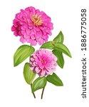 Zinnia Flower  Isolated Vector...