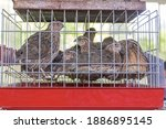 Many Small Quail Game Birds In...