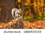 An Eastern Grey Squirrel Eating ...