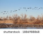 Canadian Geese In Flight. ...