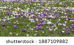 Meadow with blooming crocuses...
