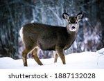 A Wild Baby Deer In The...