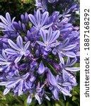 Beautiful Blue Purple...