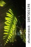 Small photo of Sword Fern, Fishbone Fern (Nephrolepis cordifolia) with sunlight.