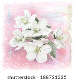 Apple Flower Blossoms In Full...