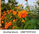 marigold flower with green...   Shutterstock . vector #1887559102
