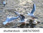 Black Headed Gulls In Winter...