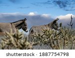 Two Wild Burros At Red Rock...
