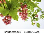 Pink Chestnut Tree Blossoms....