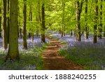 Bluebell Woods At Ashridge...