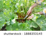Small photo of Women's hands with a knife cut off rhubarb stalks in the garden. Preparation of rhubarb for cooking.