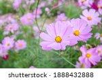 Pale pink starburst flowers in...