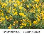 Common Gorse Bush  Ulex ...
