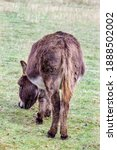 A Donkey Grazing In A Green...