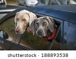 Two Weimaraner Dogs Looking Ou...
