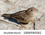 Sparrow Standing On Paving...