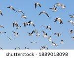 Flock Of Olrog S Gulls  Larus...