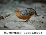Ferruginous Partridge ...