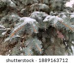 Snow Covered Fir Branch On...