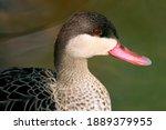 Red Billed Duck  Anas...