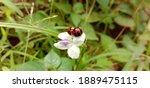 Ladybug Mates On A Flower