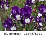 A Luxurious Bush Of Violet...