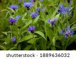 Blue Flowers Cornflowers In The ...