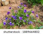 Garden Flowers   Violets....