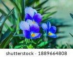 Perennial Violet  Viola...