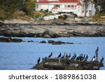 The Japanese Cormorants In The...