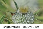 Scottish Thistle In A Field In...