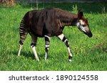 Okapi  Okapia Johnstoni  In Zoo ...