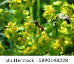 Brown Ant On Yellow Flowers ...