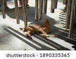 Stray Kitten In Hoi An  Vietnam