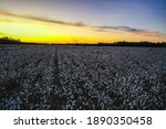 Aerial View Of Cotton Fields In ...