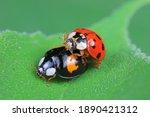 Ladybugs Mate On Weeds  North...