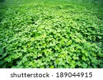 Lush Clover In The Spring ...
