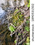 Tree Roots On The Bank In The...