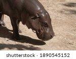 Baby Hippopotamus  Hippopotamus ...