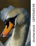 Mute Swan  Cygnus Olor  Adult...