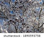 Hawthorn Red Berries Under Snow ...