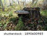 Mushroom Parasite Tinder Fungus ...