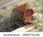 House Finch At Seed Feeder