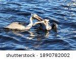 Pelican S Fighting Over Food...