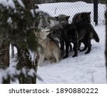 A Family Pack Of Grey Captive...