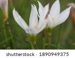 2 Flowers Of White Rain Lily....