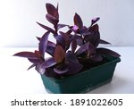 Purple Heart Plant Or...